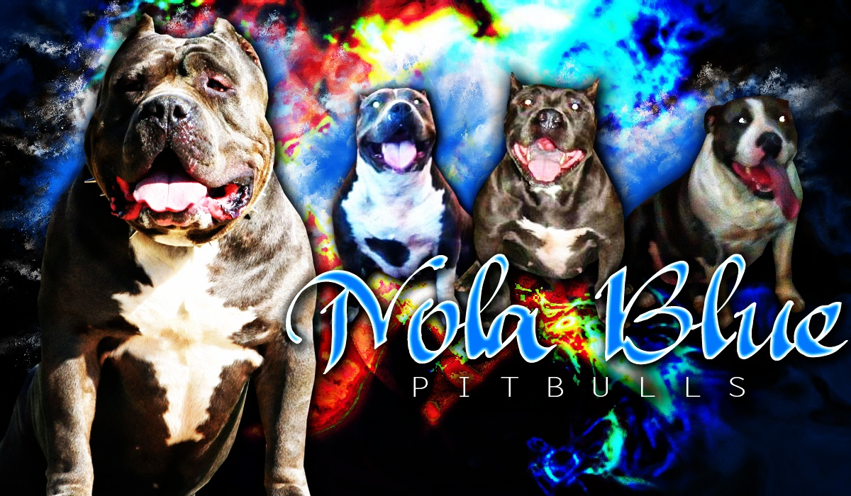 Louisiana Blue Pitbulls Nola Blue Pitbulls