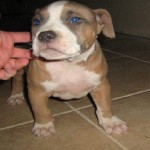 blue nose pitbull breeders